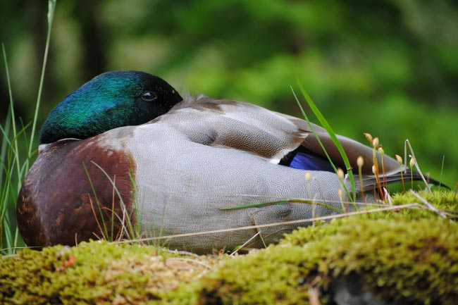 duck sleeping with one eye open