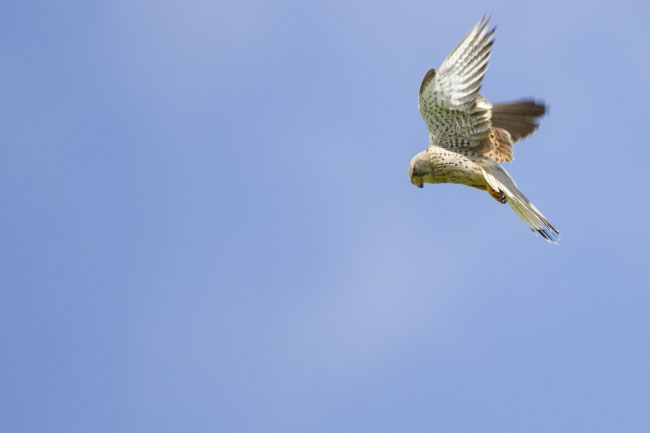 kestrel hovering