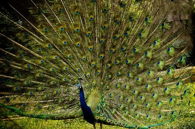 peacock displaying