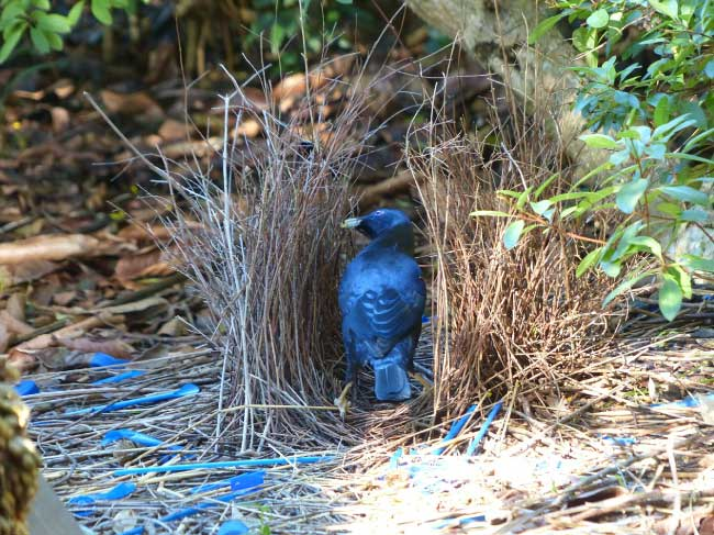 satin bowerbird in its bower
