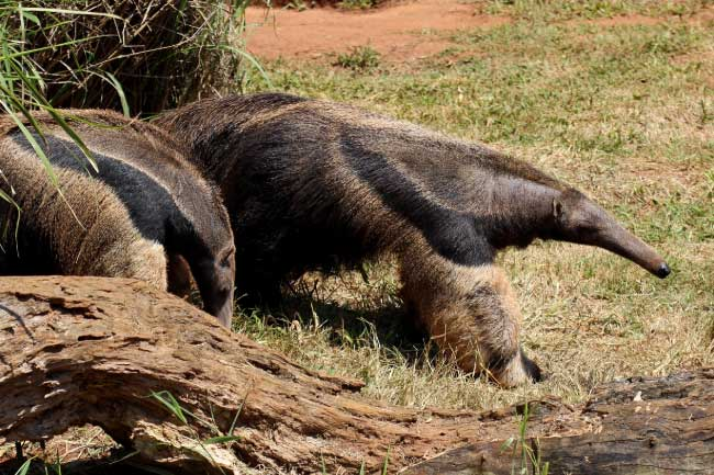 two giant anteaters