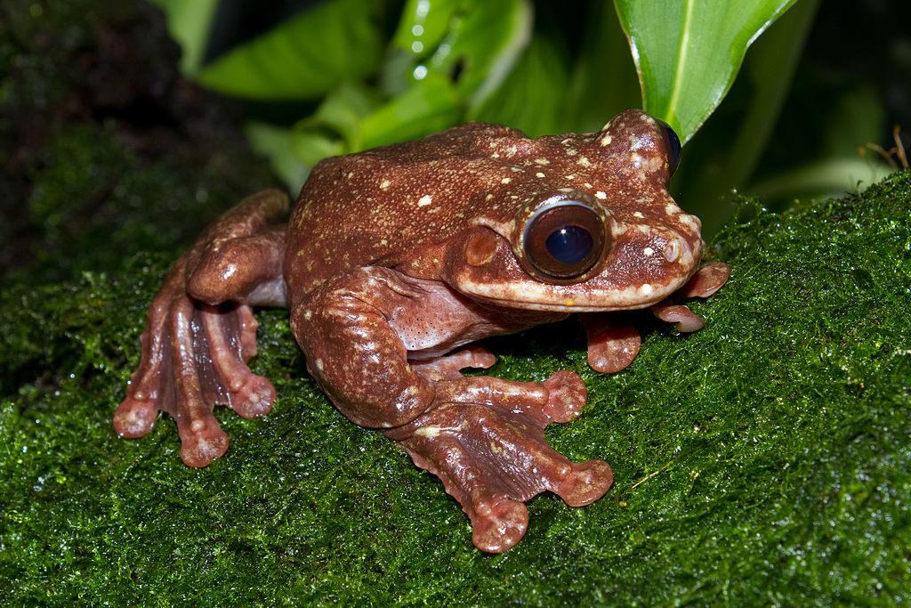 Rabb's fringe-limbed treefrog