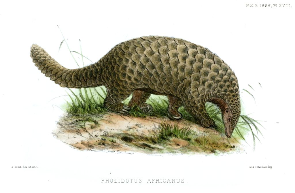 Giant Pangolin Facts