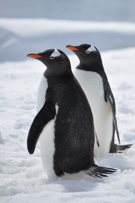 gentoo penguins.