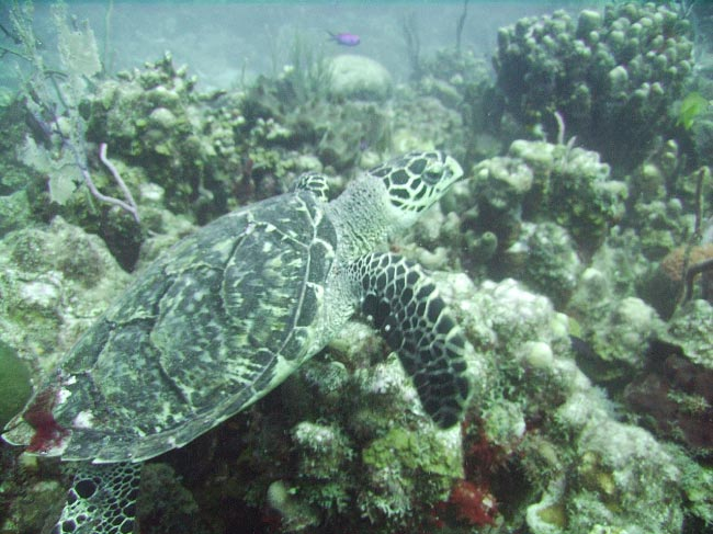 hawksbill sea turtle swimming