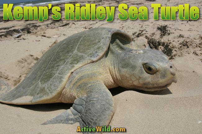 kemps ridley sea turtle facts