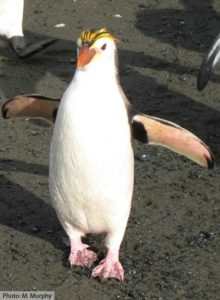 Photo of a Royal Penguin (Eudyptes schlegeli) on Macquarie Island