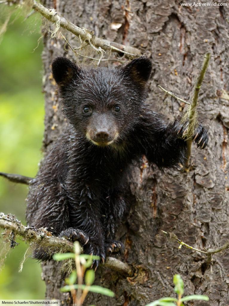 American black bear cub in tree