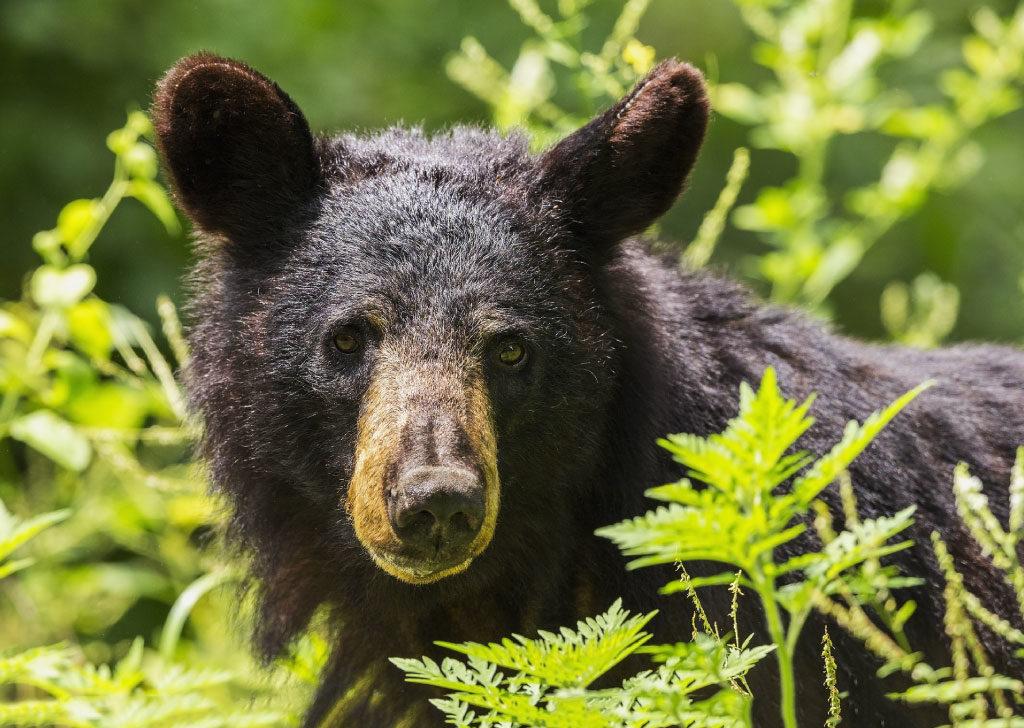 American black bear face close up