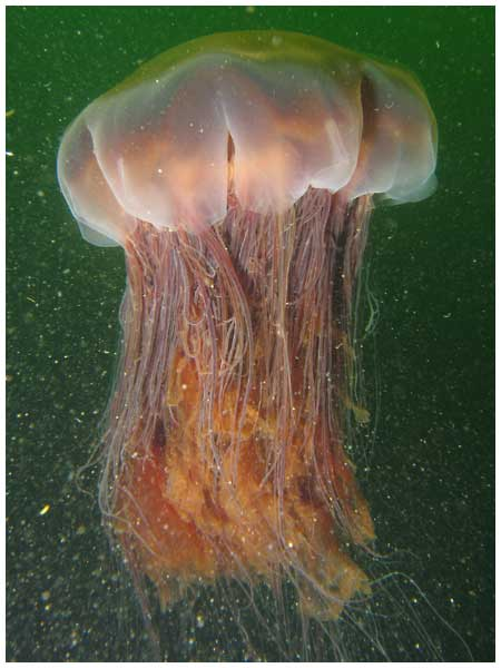 lion's mane jellyfish facts