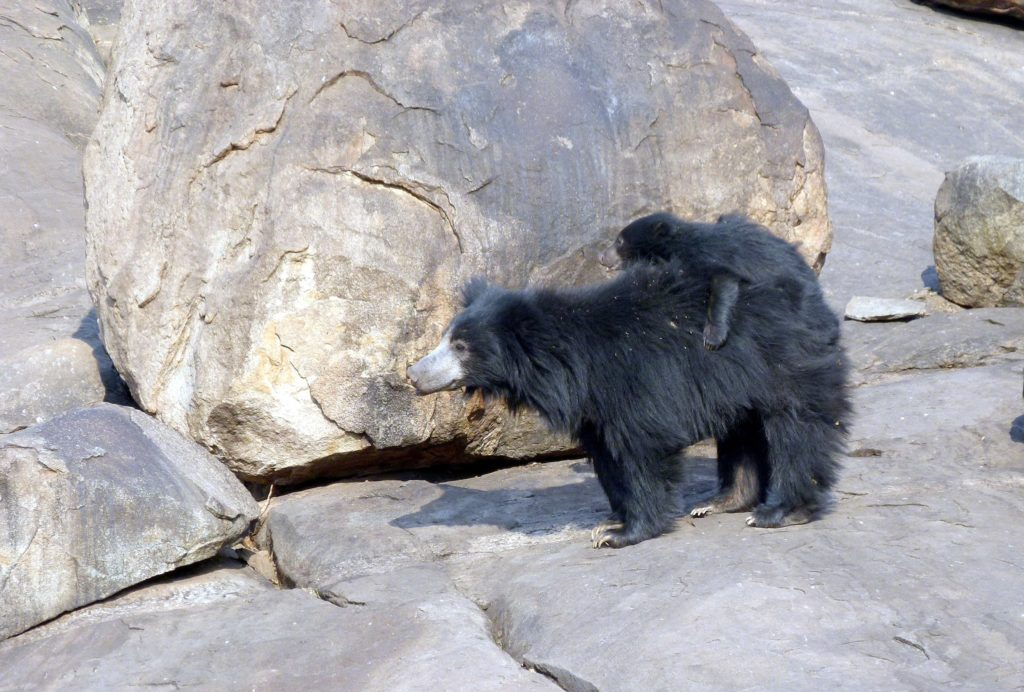 sloth bear mother and cub