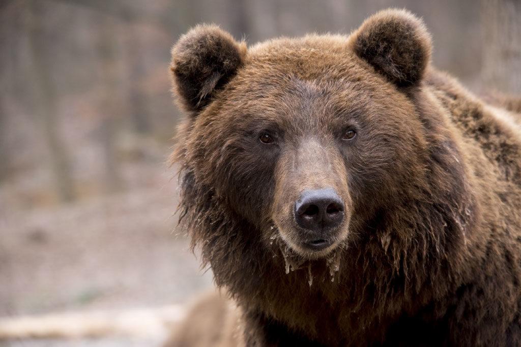 brown bear face
