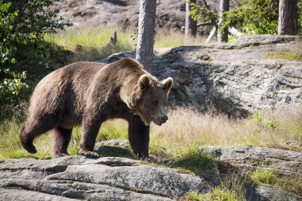 brown bear habitat