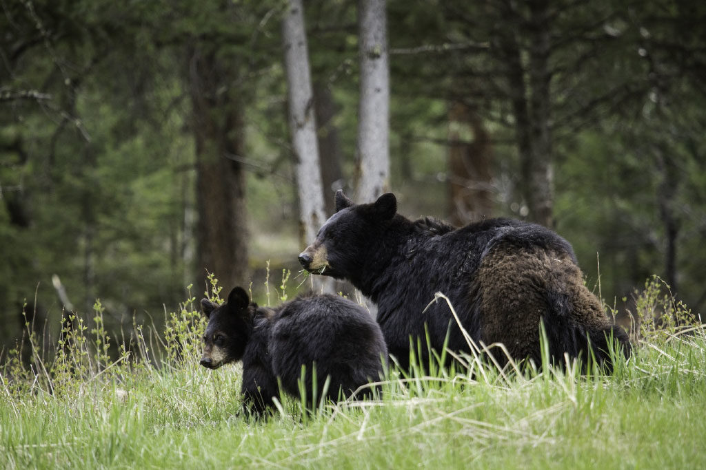 female American black bear with cub