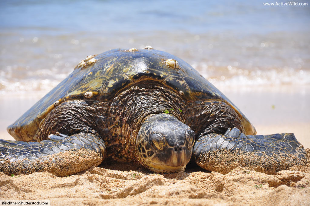 female green sea turtle on beach
