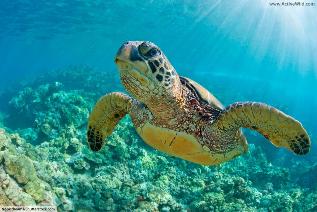 green turtle swimming