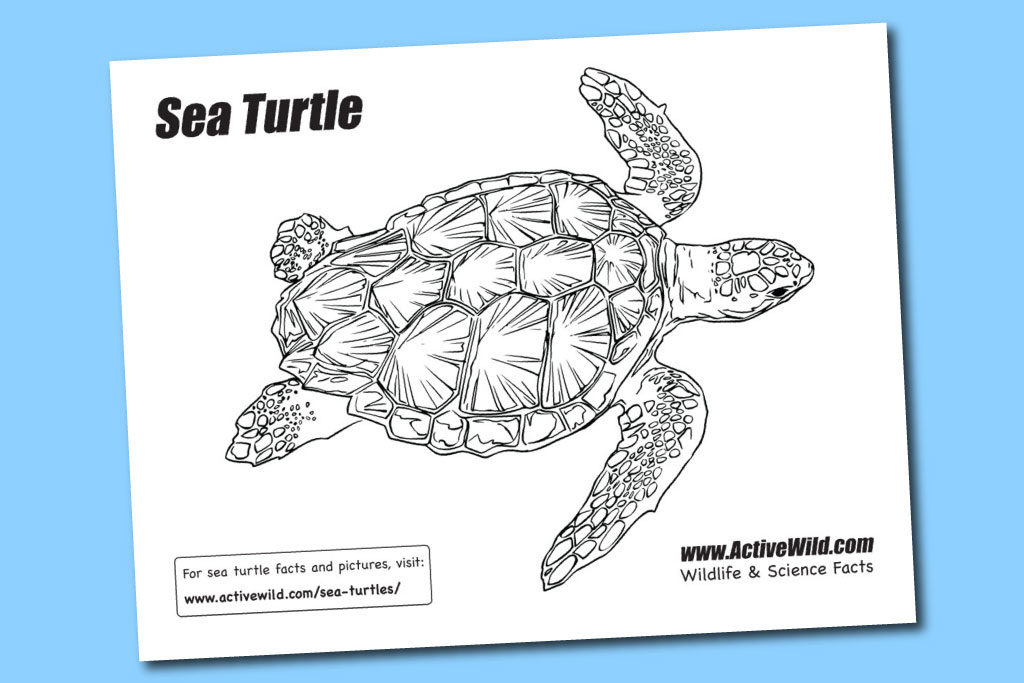 Printable Sea Turtle Coloring Pages For Kids | 683x1024