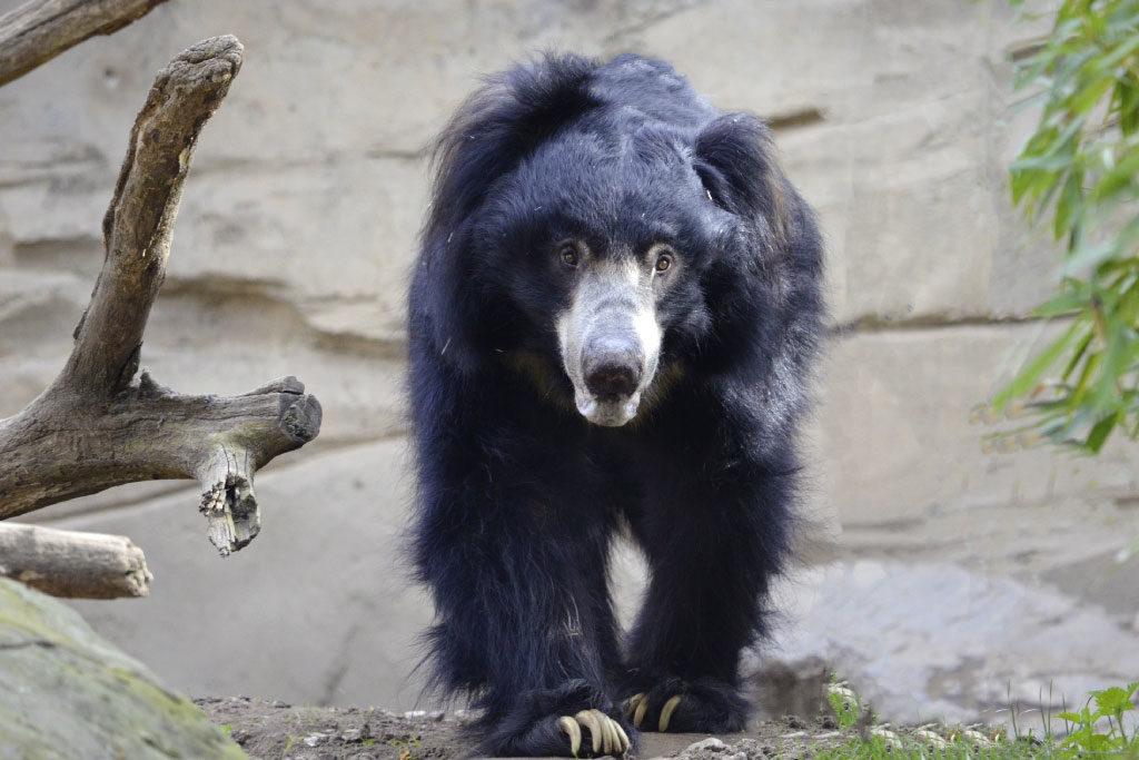 sloth bear approaching