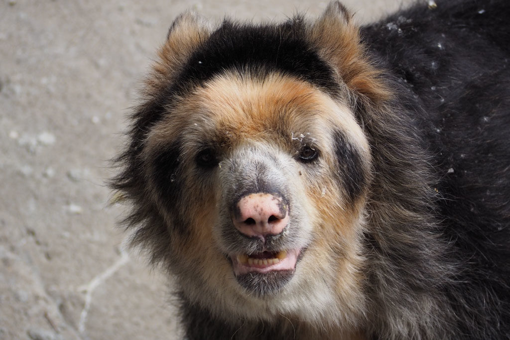 spectacled bear face