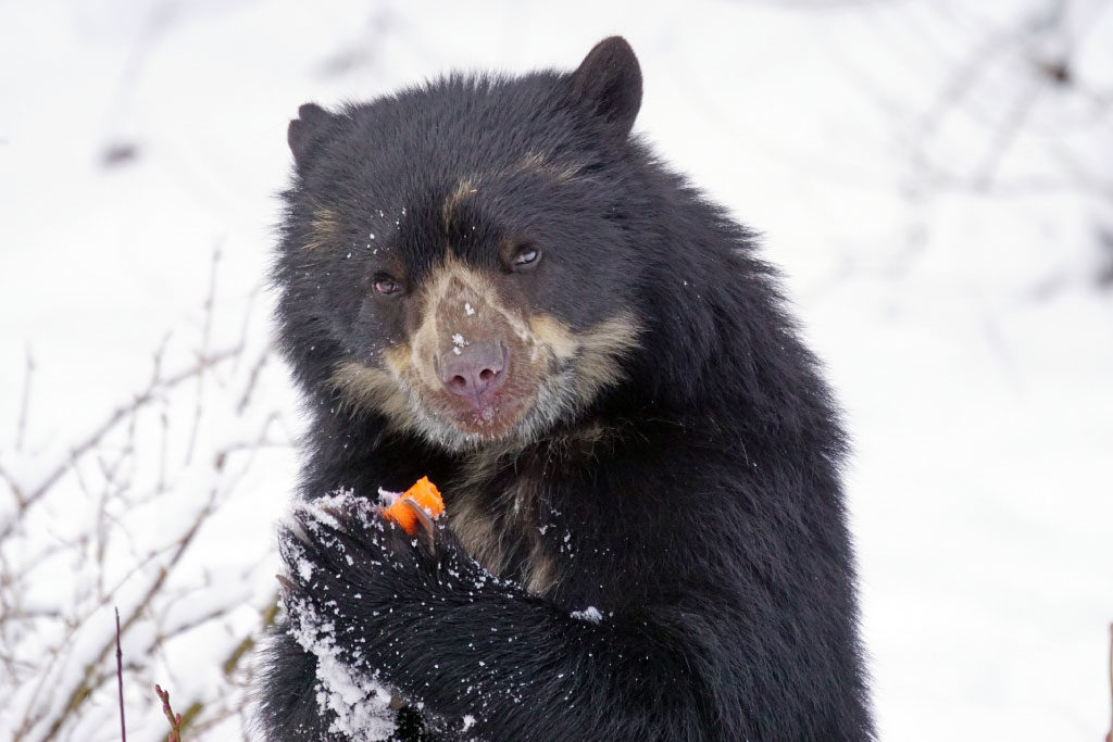 spectacled bear eating