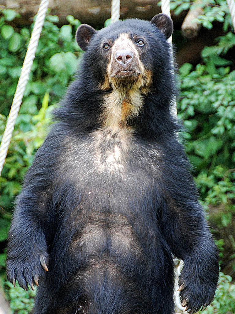 spectacled bear standing