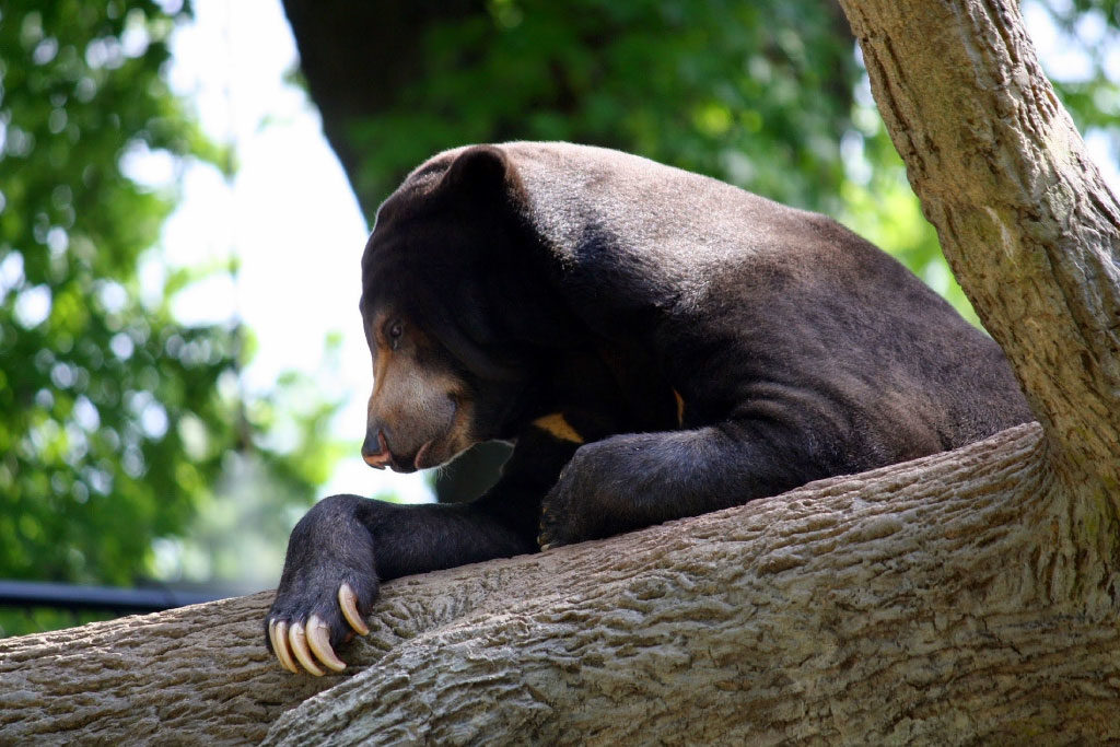 Sun Bear Information, Facts, Video & Pictures For Kids