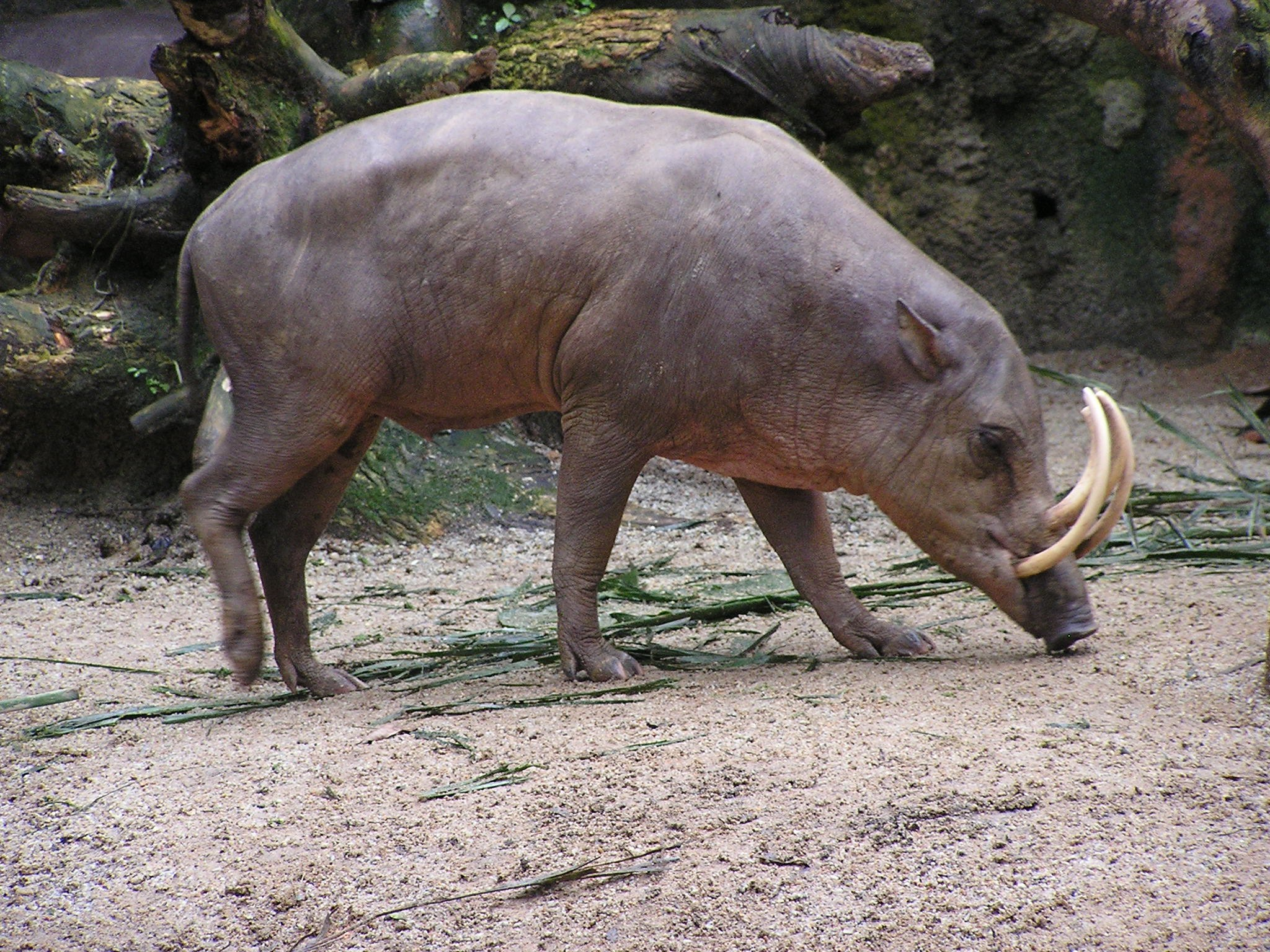 North Sulawesi Babirusa Facts, Pictures & Information