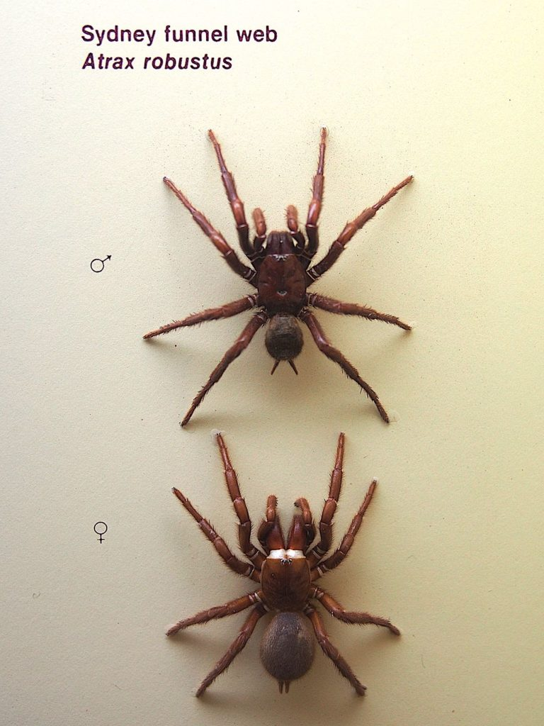 Male & female Sydney funnel-web spiders