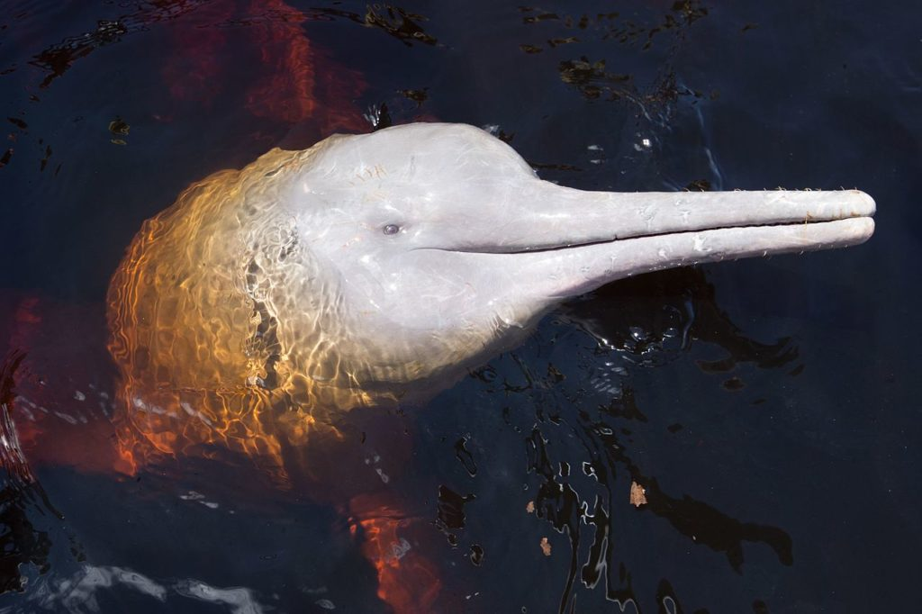 Amazon river dolphin side view of head