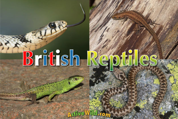 british reptiles list pictures facts includes every reptile in