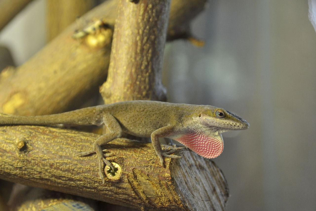 U S Lizard North American ...