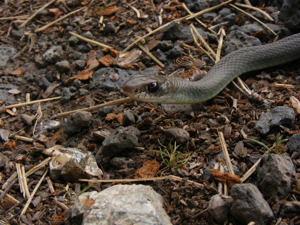 eastern racer snake