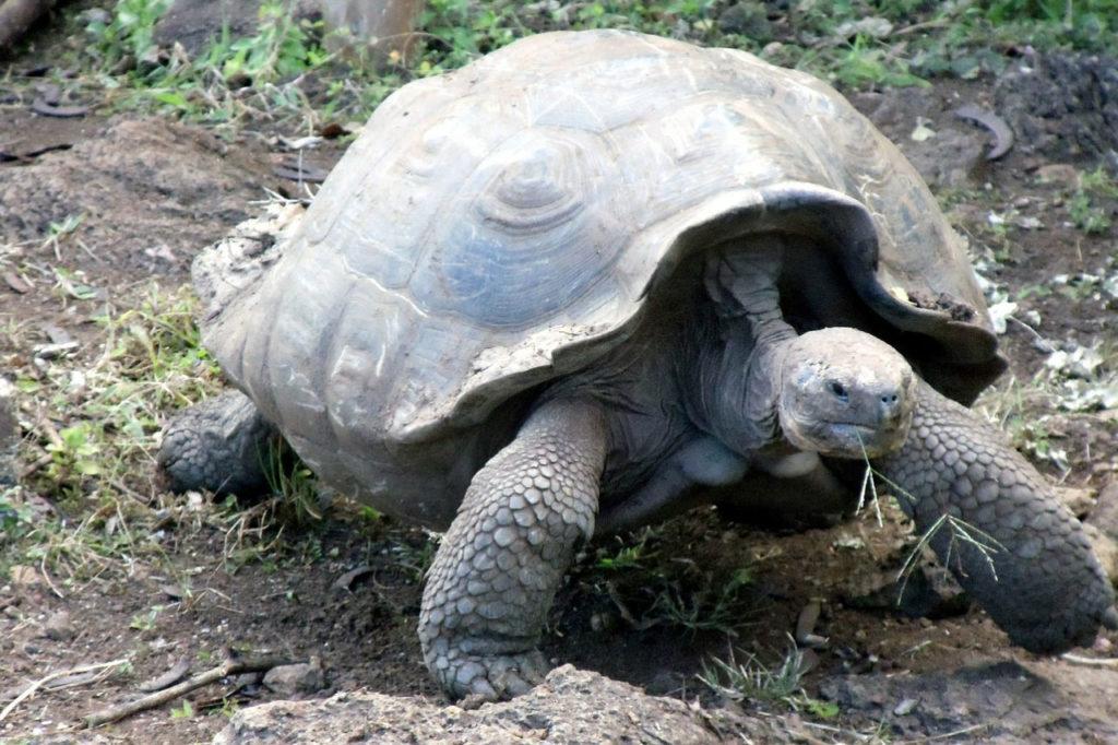 Galapagos tortoise walking