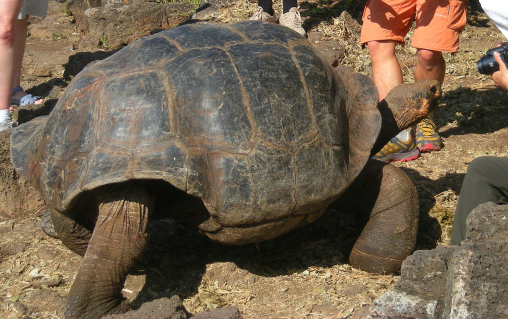 Galapagos tortoise with tourists