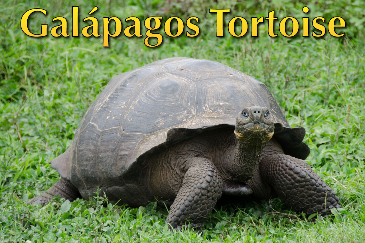 Rules of the Jungle: The Wonder Called the Galapagos Tortoise |Galapagos Tortoise