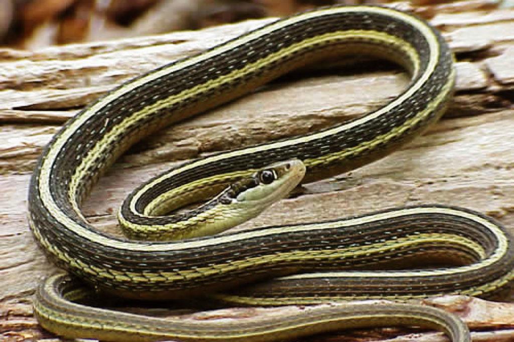 Ribbon Snake.