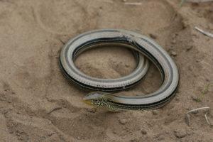 Slender Glass Lizard