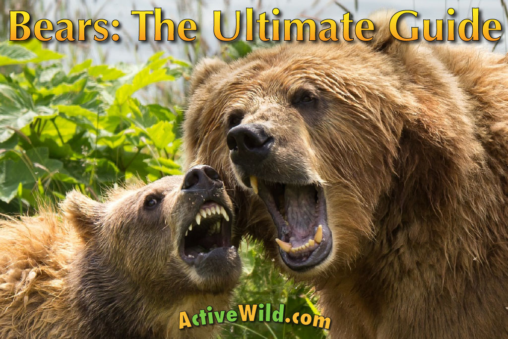 Bear Facts: The Ultimate Guide To Bears for Kids & Adults - photo#39