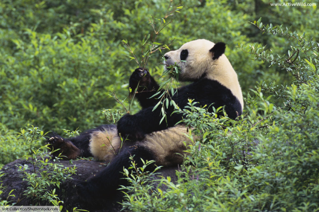 Panda Eating Bamboo ~ Bear facts the ultimate guide to bears for kids adults