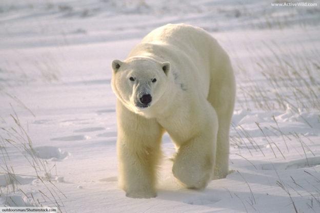 X Five Polar Bear Polar Bears Facts: Inf...