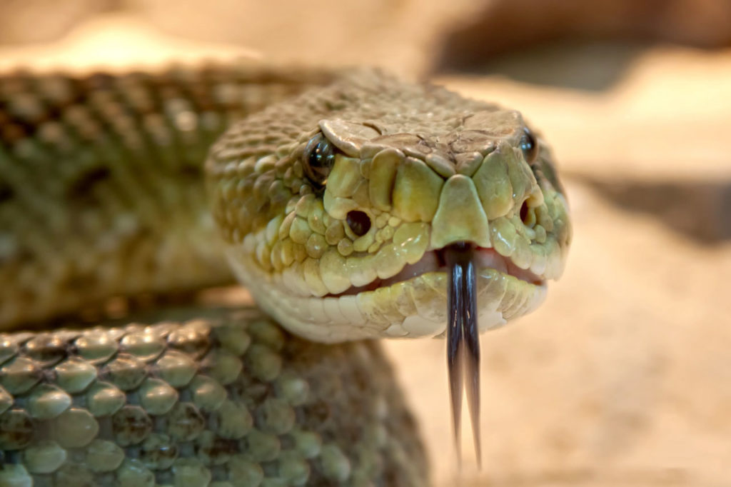 rattlesnake face close up