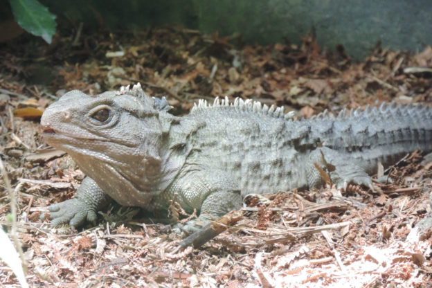 Tuatara Facts Pictures Video In Depth Info Discover A Living Fossil