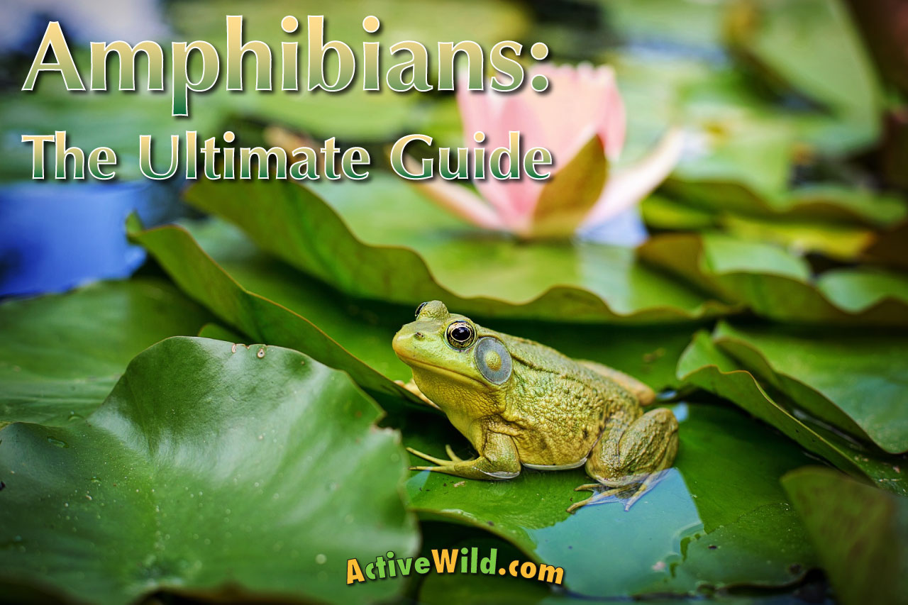 amphibians the ultimate guide