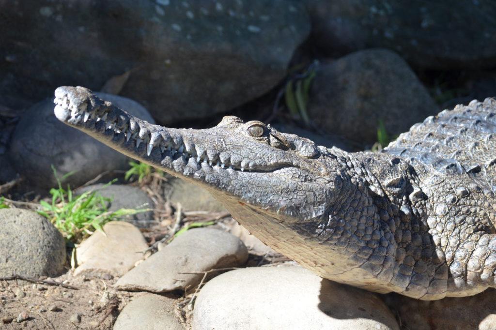 freshwater crocodile head close up
