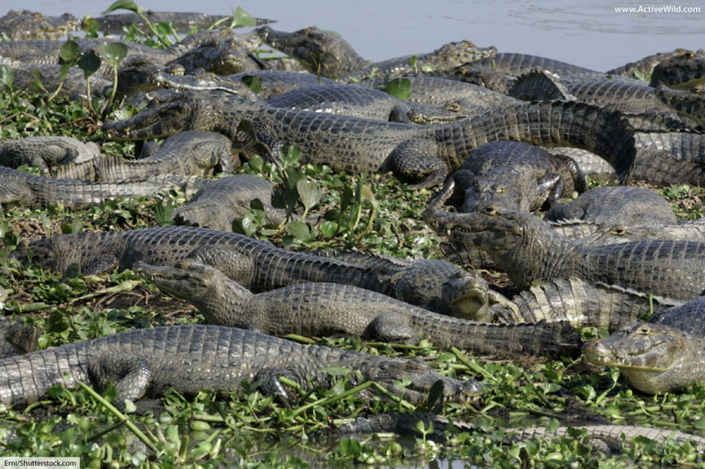 group of spectacled caimans