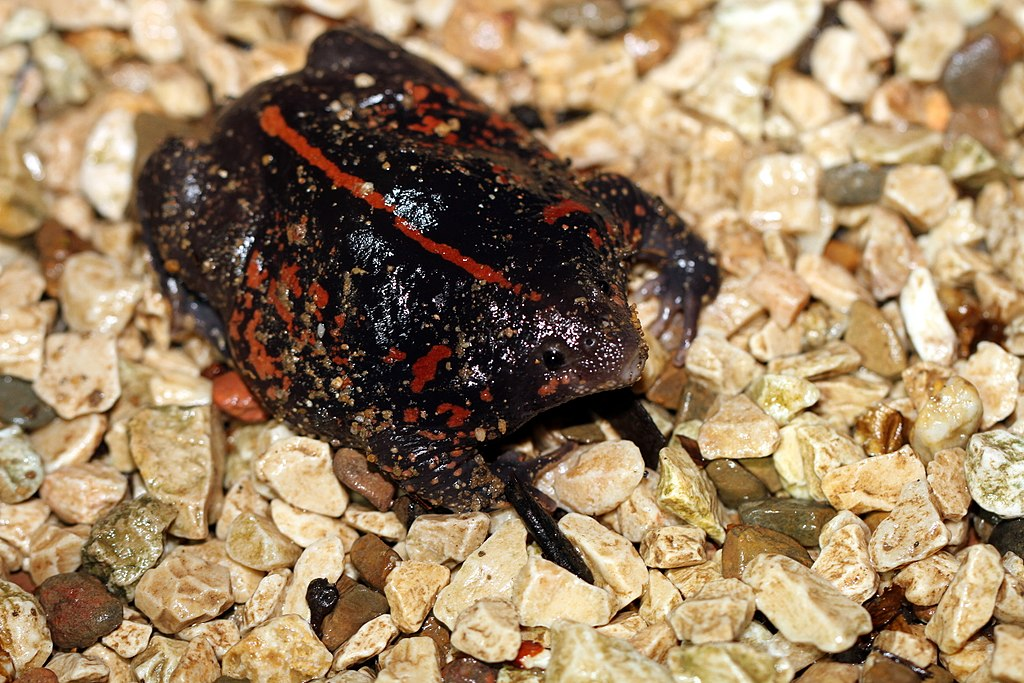an in depth look at the amphibian in the order anura the frog Phylogenetics, classification, and biogeography of the treefrogs (amphibia:  anura:  a phylogenetic analysis of sequences from 503 species of hylid frogs  and four  edgar, rc (2004) muscle: multiple sequence alignment with high .