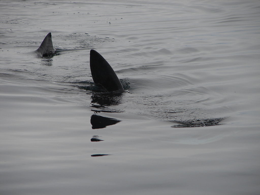 Basking sharks swimming near the surface