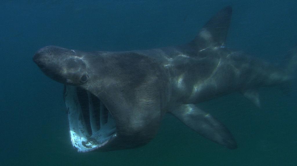 Basking shark swimming