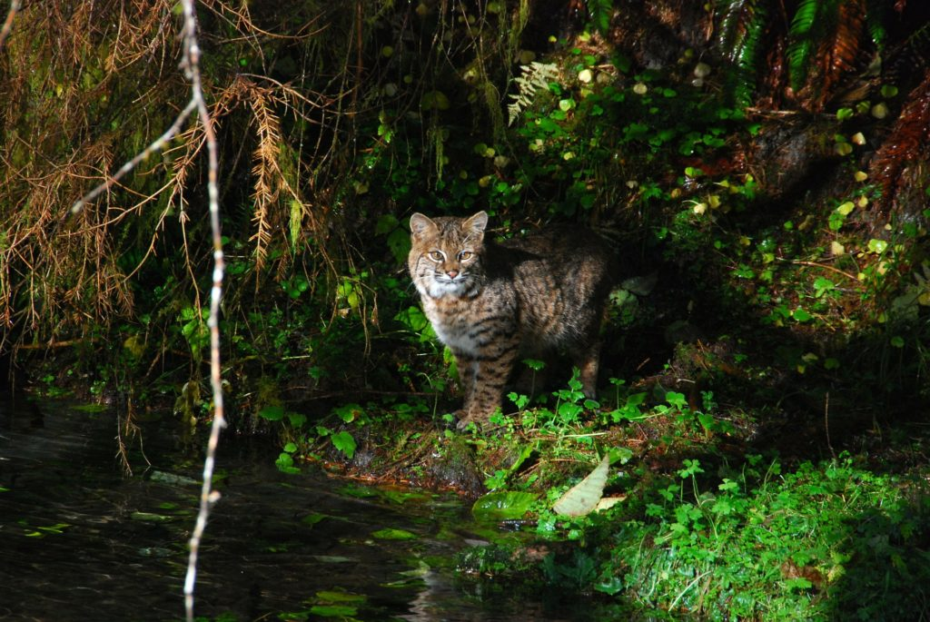bobcat by river