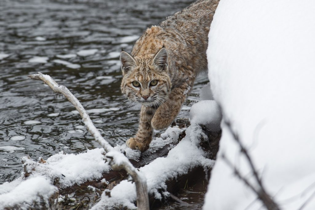 bobcat by river in snow